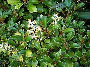 Brachyglottis - Brachyglottis elaeagnifolia