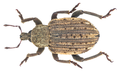 Brachypera zoilus (Scopoli, 1763) Syn.- Hypera punctata (Fabricius, 1775) Syn.- Hypera zoilus (Scopoli, 1763) (17428592981).png