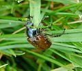 Bracken (Garden) Chafer - Phyllopertha horticola - Flickr - gailhampshire.jpg