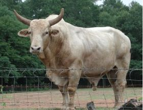 Image illustrative de l'article Brahmane (race bovine)
