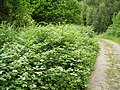 Brambles, Sasel Wood - geograph.org.uk - 206208.jpg