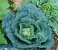 Brassica oleracea var. sabauda JdP.jpg