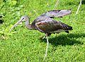 Brauner Sichler Plegadis falcinellus Tierpark Hellabrunn-3.jpg