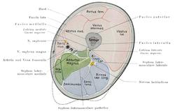 Thigh - Wikipedia