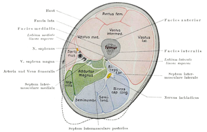 Thigh - Cross-section of the thigh showing muscles and bone (latin terminology).