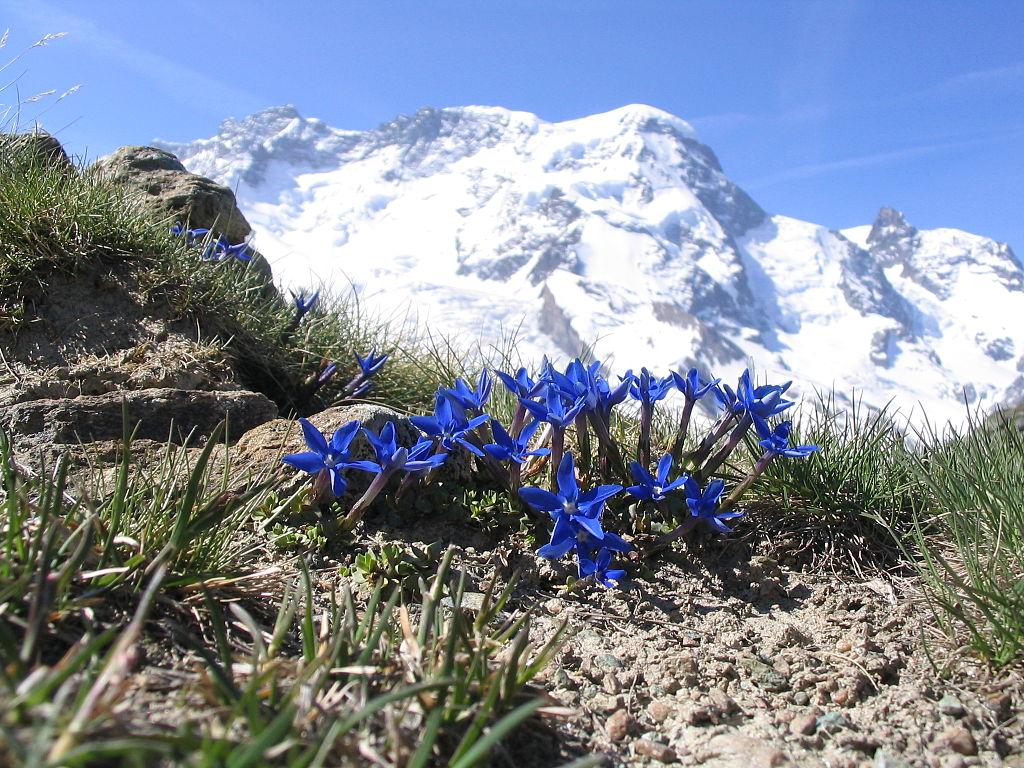 Fleurs de gentiane de printemps (Gentiana brachyphylla), devant le mont du Breithorn occidental (4164m) vu depuis la station alpine de Rotenboden, près de Zermatt dans les Alpes valaisannes (Suisse). (définition réelle 2048×1536*)