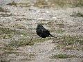 Brewer's Blackbird (1st year male)- Whitefish Point (5429153695).jpg