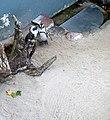 Brillenpinguin mit Küken (Zoo Leipzig).jpg