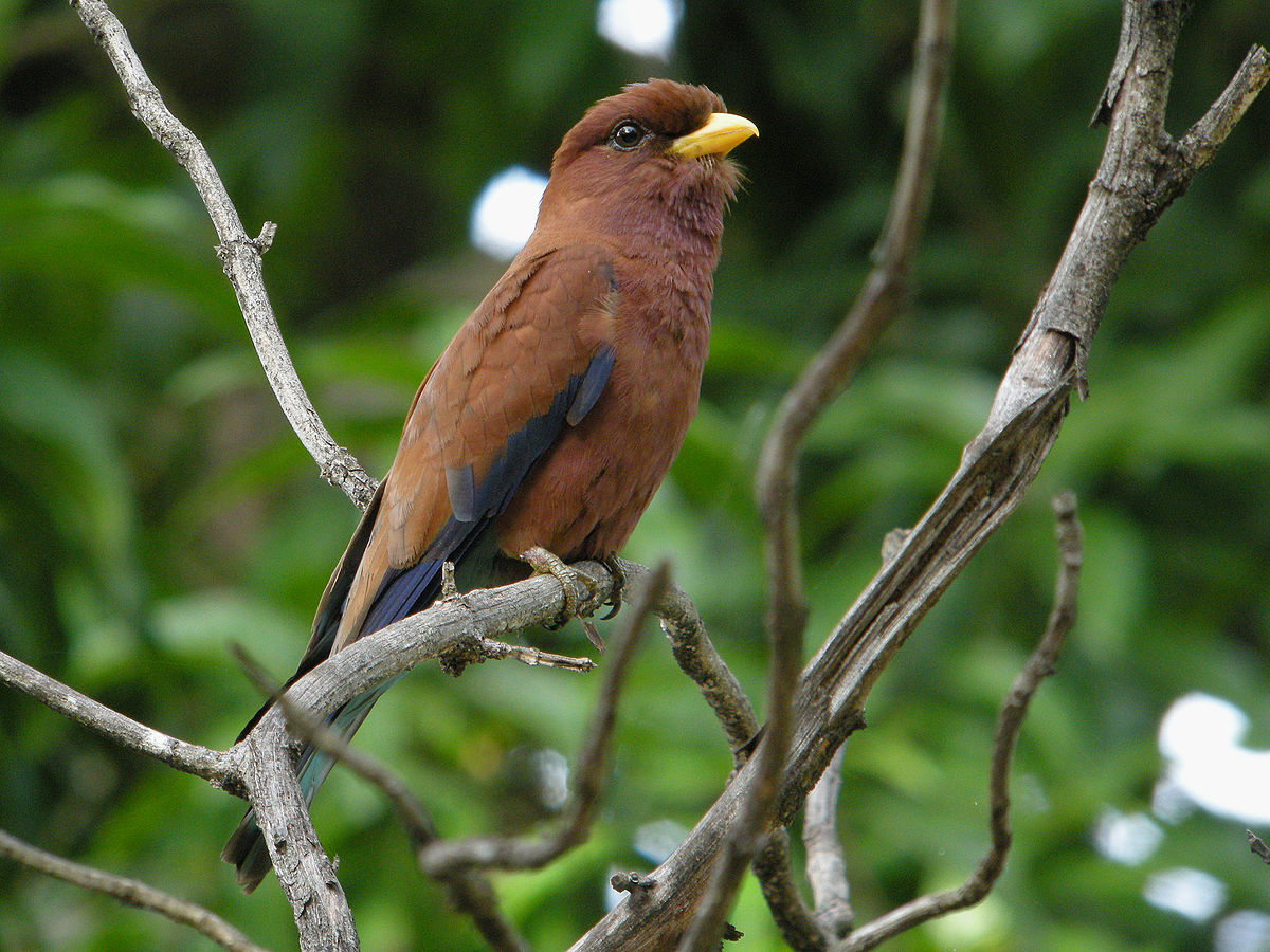 Broad Billed Roller Wikipedia