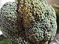 Broccoli-12.jpg