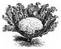 Brocoli blanc hâtif Vilmorin-Andrieux 1883.png