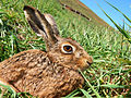 Brown Hare2444.jpg