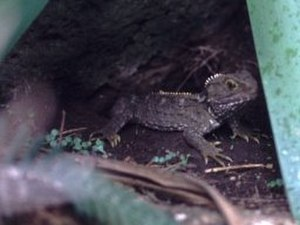 Tuatara - Tuatara juvenile (Sphenodon punctatus)