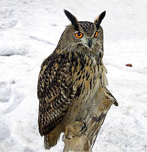 Eurasian eagle-owl - Image: Bubo bubo winter 1