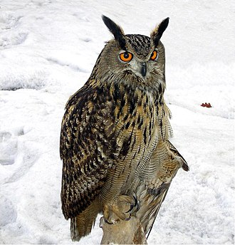 Chough - The Eurasian eagle owl is a predator of choughs.