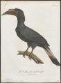 Buceros panini - 1801 - Print - Iconographia Zoologica - Special Collections University of Amsterdam - UBA01 IZ19300085.tif