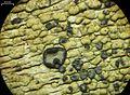 Buellia gerontoides - Flickr - pellaea (1).jpg
