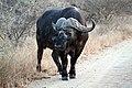 Buffalo, Kruger National Park (14792640747).jpg
