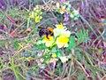 Bumblebee - panoramio (1).jpg