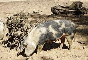 Bentheim Black Pied pig - Bentheim Black Pied