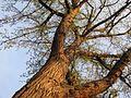 Bur Oak - Flickr - treegrow.jpg