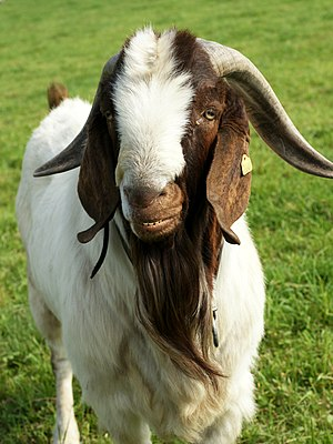 The Boer goat was developed in South Africa in...