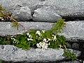 Burren Flora 02 Crataegus monogyna.jpg