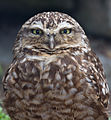 Burrowing Owl 2 (7116133277).jpg