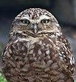 Burrowing Owl 2 (7116133277).jpg