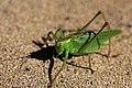 Bush-cricket - Tettigonia orientalis - 藪螽斯(ヤブキリ) (6356275993).jpg