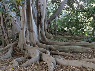 Buttress root - Buttress roots of a Bay fig tree at South Coast Botanical Garden in Palos Verdes, California