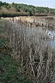 By the Nottingham Canal - Great Reedmace, or Bullrush (Typha latifolia) - geograph.org.uk - 1198378.jpg