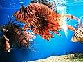 Cá mao tiên (cá sư tử) Nha Trang 2.jpg