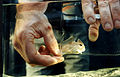 CSIRO ScienceImage 2776 Catching a Handfish in a Tank.jpg