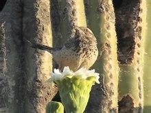 File:Cactus wren (Campylorhynchus brunneicapillus) on saguaro cactus.webm