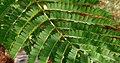 Caesalpinia sappan (Sappan wood) W2 IMG 3193.jpg