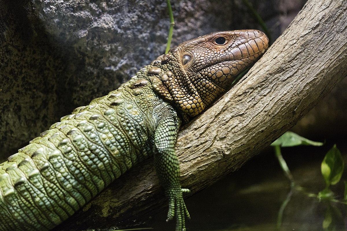 Baby Caiman Lizard | w...