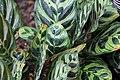 Calathea ornata, Victoria Esplanade Park (2).jpg
