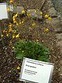 Calcelaria biflora (Reykjavík BG).jpg