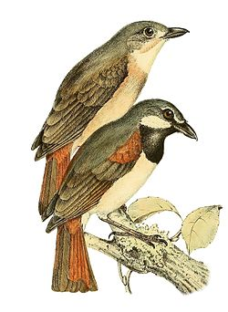 Calicalicus madagascariensis 1868.jpg