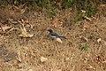 California Scrub Jay - Aphelocoma californica (43869930331).jpg