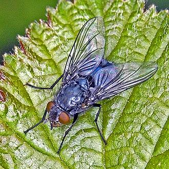 Blue bottle fly - Calliphora vomitoria. Female
