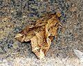 Callopistria sp. - Doi Su thep, Chiang Mai (5942964678).jpg