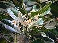 Calophyllum inophyllum (367638782).jpg