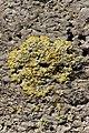 Caloplaca sp. (27800002748).jpg