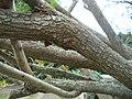 Calpurnia aurea - Kirstenbosch botanical garden - 4.jpg