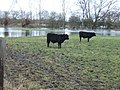 Calves on flooded pasture at Cricklade - geograph.org.uk - 304261.jpg