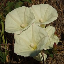Calystegia occidentalis.jpg