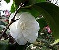 Camellia japonica 'Linda Rosazza'.JPG