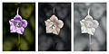 Campanula persicifolia 'Telham Beauty' flower Vis UV IR comparison.jpg